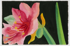 Pink Amaryllis on Olive Black        [006-99]